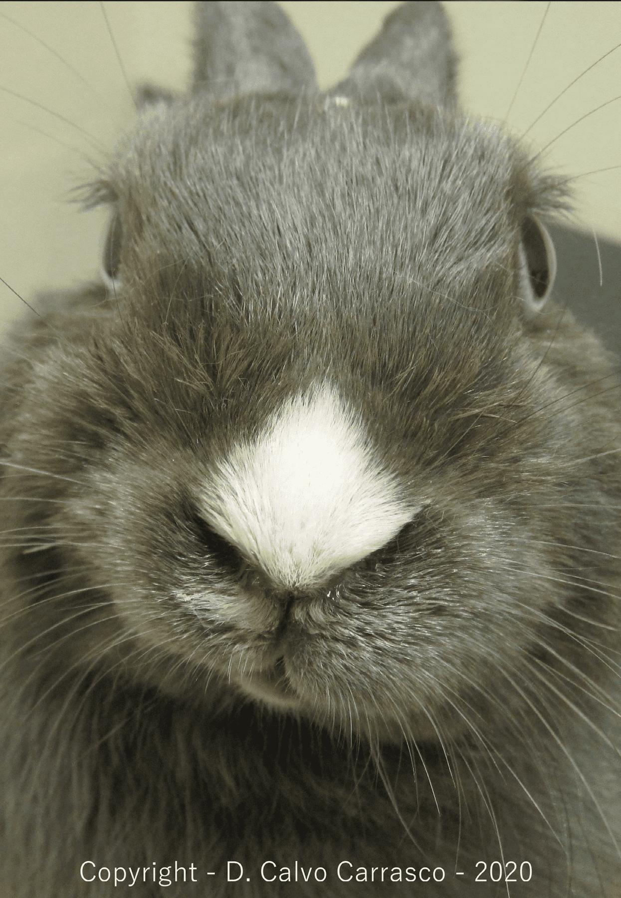 Rabbit otitis externa case study